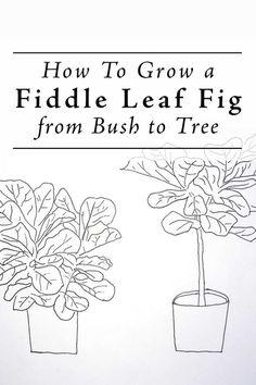 Grow a Ficus Lyrata from bush to Tree Form