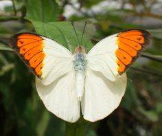 The beautiful Orange Tip (Anthocharis cardamines) is a common butterfly found in the United Kingdom.