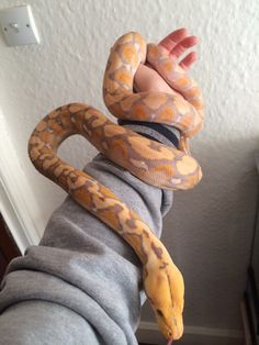 Reticulated python - albino purple tiger
