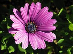 Daisy Bushes (osteospermum): Osteospermum /ˌɒstiəˈspɜːrməm, -tioʊ-/, the daisybushes is a genus of flowering plants belonging to the Calenduleae, one of the smaller tribes of the sunflower/daisy family Asteraceae.  Osteospermum used to belong to the genus Dimorphotheca, but only the annual species remain in that genus; the perennials belong to Osteospermum. The genus Osteospermum is also closely related to the small genus Chrysanthemoides, such as C. incana and C. monilifera…