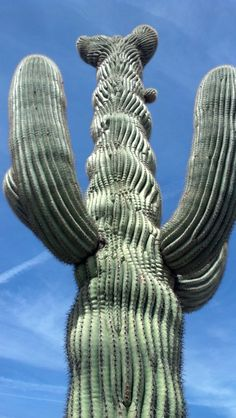 crazy saguaro! Near Florence, Arizona