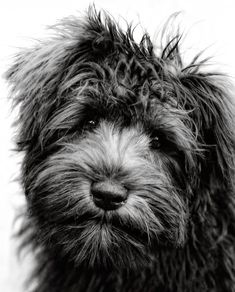 This cutie looks JUST LIKE my old buddy Chaseyboy, right down to the fluffy chin and scruffled forehead.