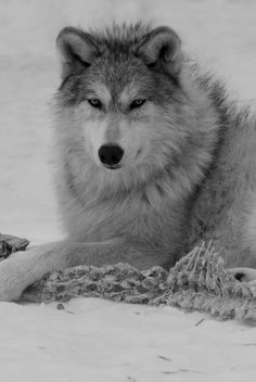 Wolves are fascinating creatures. Wolf Spirit, Spirit Animal, Nature Animals, Animals And Pets, Wolf World, Eddard Stark, Wolf Love, Wild Wolf, Beautiful Wolves