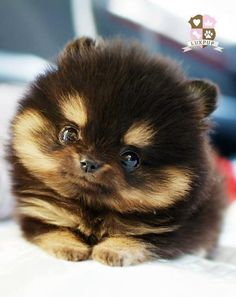 Pomsky - a cross between a Siberian Husky and a Pomeranian. They stay the size of a Pom. I WANT ONE!!
