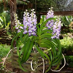Rhynchostylis coelestis, common name The Sky-Blue Rhynchostylis. Found in Thailand, Cambodia and Vietnam in semi-deciduous and deciduous dry lowland forests. Orchids Online