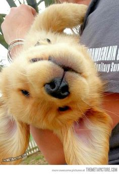 Funny pictures about Bad Day? Here's An Upside Down Golden Retriever Puppy. Oh, and cool pics about Bad Day? Here's An Upside Down Golden Retriever Puppy. Also, Bad Day? Here's An Upside Down Golden Retriever Puppy photos. Cute Puppies, Cute Dogs, Dogs And Puppies, Doggies, Collie Puppies, Funny Dogs, Baby Animals, Funny Animals, Cute Animals