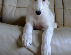 Borzoi Dog Info, Mixes, Temperament, Training, Puppies, Pictures Puppy Images, Puppy Pictures, Borzoi Puppy, Wolf's Lair, Russian Wolfhound, Training Your Puppy, Dry Dog Food, Dog Breeds, Puppies