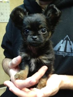 Long haired chihuahua - this looks JUST like my dog when she was a puppy! #Chihuahua