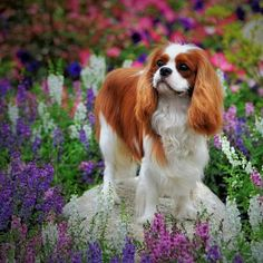 The Cavalier King Charles Spaniel is a friendly, gentle, and affectionate dog. Find out more about the personality, appearance, history and needs of the Cavalier King Charles Spaniel. King Charles Puppy, Cavalier King Charles Dog, King Charles Spaniel, Spaniel Breeds, Spaniel Puppies, Cocker Spaniel, Best Dog Breeds, Best Dogs, Dog Competitions