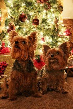 Yorkie Christmas.