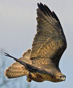 looks like a hawk to me...last pin'r said.....Common Buzzard??? Hmmmm