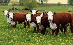 young hereford herd of cattle on a grassy field ** Note: Slight blurriness, best at smaller sizes Poster. Dexter Cattle, Hereford Cattle, Hereford Beef, Off The Grid News, Chicken Tractors, Beef Cattle, Cow Painting, Annual Plants, Small Farm