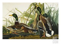 Mallard Duck. Mallard (Anas Platyrhynchos), Plate Ccxxi, from 'The Birds of America' Print by John James Audubon at Art.com