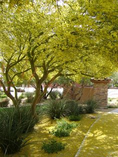 Palo verde trees I wish this was my backyard Palo means beautiful in Spanish btw and verde means green