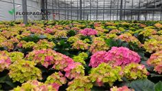50 sfumature di #Ortensia! #Florpagano #piante #Puglia
