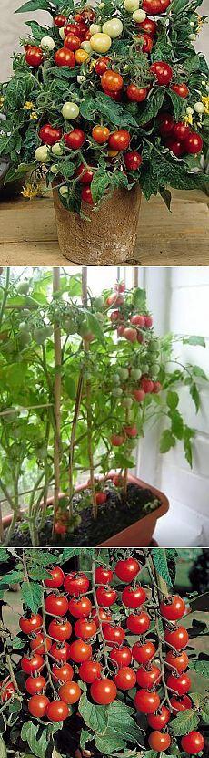 Как вырастить помидоры на подоконнике   ДОМАШНЯЯ ЖИЗНЬ