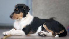 Výber plemena - krátkosrstá kólia - Spring in Roseland Pixies, Spring, Dogs, Animals, Animales, Animaux, Pet Dogs, Doggies, Animal