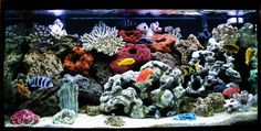 African cichlids (freshwater fish) done marine style with fake coral and red freshwater plants Saltwater Tank, Saltwater Aquarium, Aquarium Fish Tank, Cichlid Aquarium, Cichlid Fish, Colorful Fish, Tropical Fish, Fish Aquarium Decorations, Aquarium Ideas