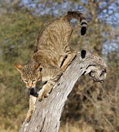 The Ancestor of All Domestic Cats Meet the African wildcat (Felis silvestris lybica), also called Near Eastern wildcat. It's found in North and Subsaharan Africa and also around the periphery of the Arabian Peninsula. Small Wild Cats, Big Cats, Felis Margarita, Chausie Cat, African Wild Cat, Rusty Spotted Cat, Wild Cat Species, Domestic Cat Breeds, Sand Cat