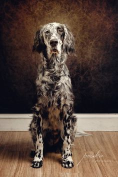 English Setter. Ryman Setter. Pet photography. Dog portrait. www.pouka.com