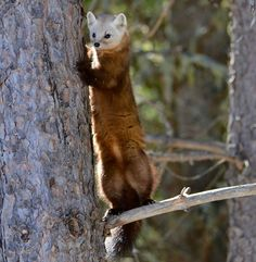 Unusual sighting: MyNews user Kerry Hickey of Arnprior, Ont. said her son spotted a pine marten on a camping trip at Mew Lake Algonquin Park.