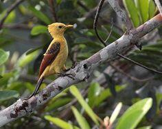 Foto pica-pau-amarelo (Celeus flavus) por Anselmo dAffonseca | Wiki Aves - A Enciclopédia das Aves do Brasil