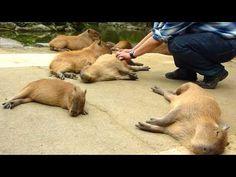 ▶ カピバラを連続ヘブン状態に (Scratching many capybaras) - YouTube