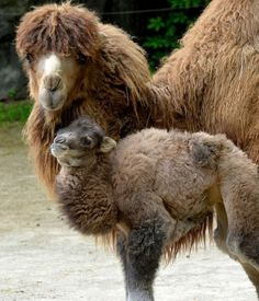 Baby Camel | Cutest Paw