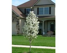 Garden designs with japanese weeping cherry trees prunus for Dwarf ornamental trees for zone 4