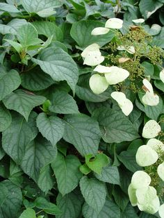 white bean vine   ... leaves and summer flowers of Japanese hydrangea vine Moonlight
