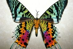 Sunset Moth from  Madagascar.  Can you say iridescent?!