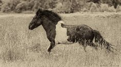 _MRL1087.jpg - Icelandic Yearling Paint playing in the tall grass.