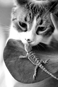 Chameleon And Cat.