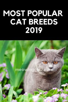 1100157ca7 The 5 Most Popular Cat Breeds in 2019