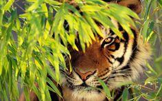 tiger behind foliage