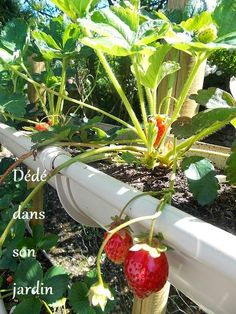 une plantation de fraisiers dans des sacs de terreau. Black Bedroom Furniture Sets. Home Design Ideas
