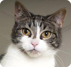 Chicago, IL - Domestic Shorthair. Meet Eva, a cat for adoption. http://www.adoptapet.com/pet/18031705-chicago-illinois-cat