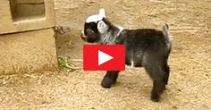 Baby Pygmy Goat Doing The Happy Dance May Be The Greatest Thing Ever!!
