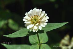 百日草-白色花 - null