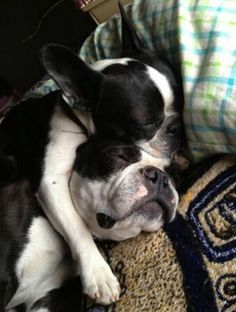 Boston Terriers spooning