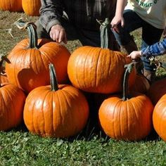 Pumpkin Rhea F1 Thanksgiving Food Crafts, Thanksgiving Decorations, Pumpkin Decorations, Pumpkin Trellis, Pumpkin Plants, Pumpkin Field, Pumpkin Varieties, Planting Pumpkins, Biggest Pumpkin