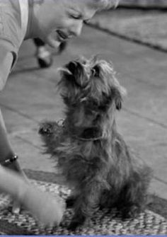 "vintage cairn terrier kisses Lucille Ball in the face on ""I Love Lucy""! I loved watching that show!"
