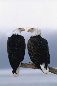 Baywatch - Bald Eagles - $355.00