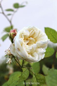 seidenfeins Dekoblog : Novemberrosen : November roses