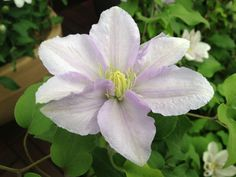Clematis .. Chelsea. Only 2' - 3'. Continual blooms for 6 months.