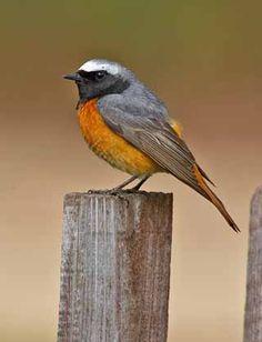 Leppälintu, Phoenicurus phoenicurus - Linnut - LuontoPortti