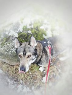 Tamaskan dog wolfdog Lobo from Varganess blog <3