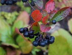 aronia melanocarpa, il miglior antiossidante naturale !