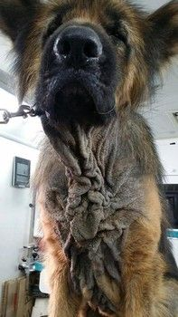 Affluent family's purebred shepherd ignored after arrival of new baby Share/needs help 11/15