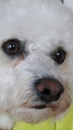 Looks like my sweet Chanel Bichon Dog, Maltese Dogs, Cute Puppies, Cute Dogs, Dogs And Puppies, Beautiful Dogs, Animals Beautiful, Poodle, Animals And Pets